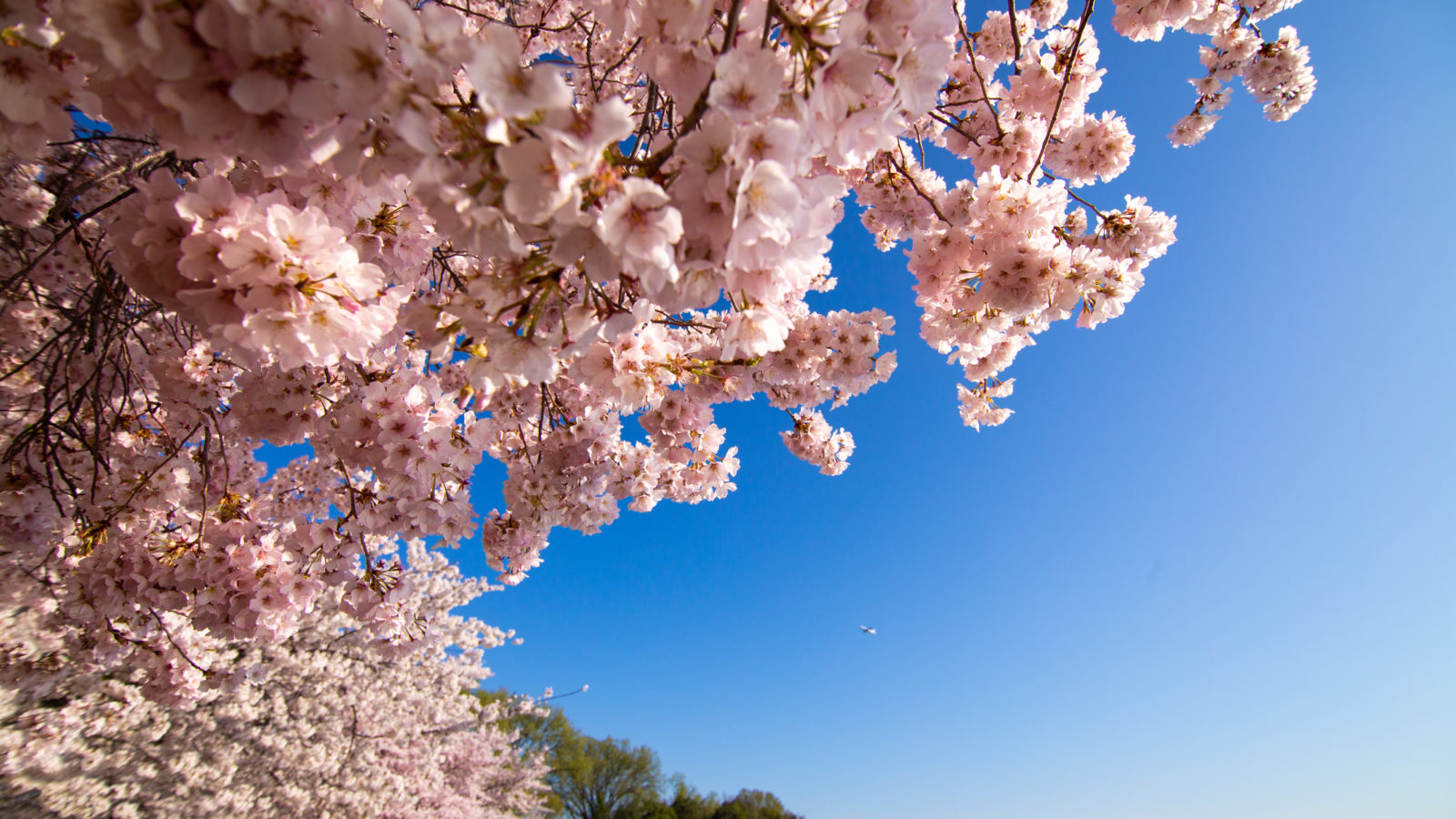 Pink cherry blossoms hang over the tidal basin with a blue sky behind them.